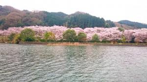 枝垂桜1 (2)