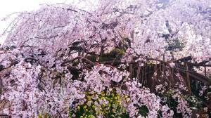 枝垂桜1 (1)